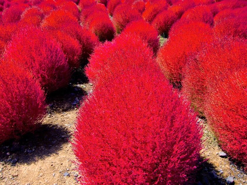 Живописный японский парк Хитати Кайхин 0 1422e6 48123865 orig