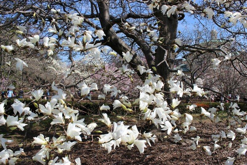 порхающие цветы магнолии