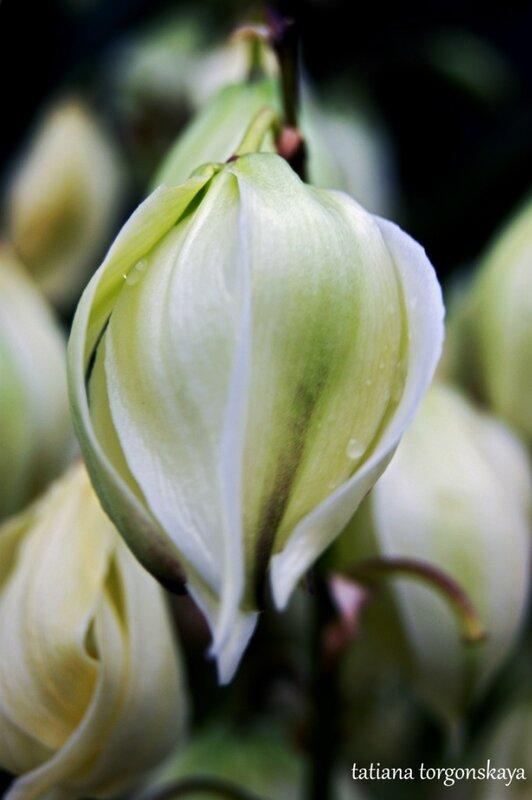 Цветок юкки