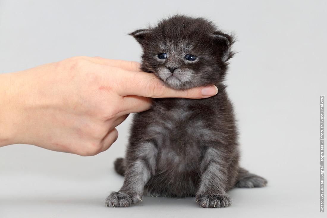 кошечка котенок Мейн-кун