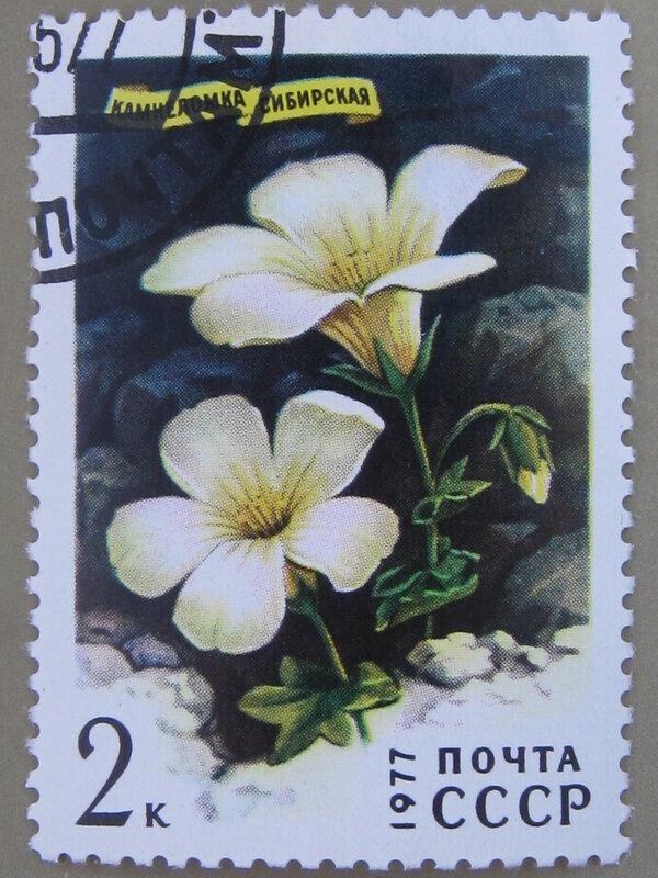 Камнеломка сибирская (Saxifraga sibirica).