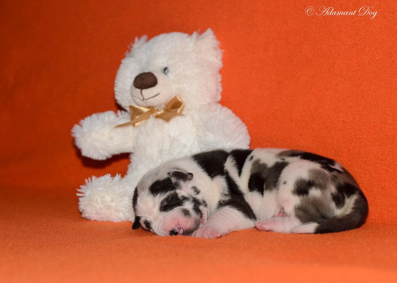 Продаются щенки в питомнике Олрей. Москва. 0_e645e_8fb8f80f_XXXL