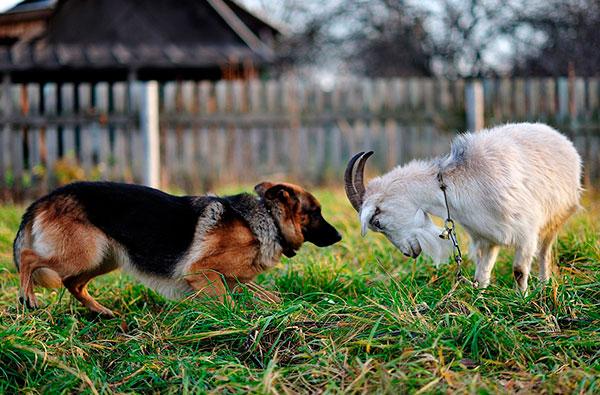 смелая коза будет в 2015 году