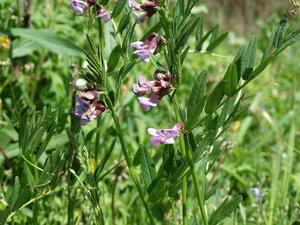 Горошек заборный (Vicia sepium)Тэг на ЯФ:  Флора Тульской области