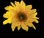 mzimm_fallintoautumn_sunflower2_sh.png