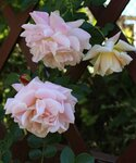 Розы Kordes  2014