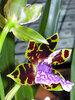 Орхидея зигопеталум-2