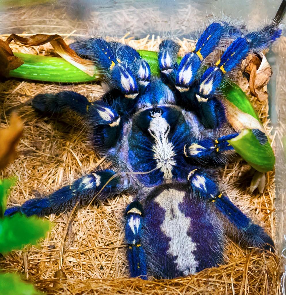 Синий паук - самый красивый паук в мире Пауки