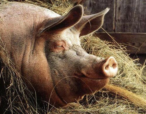 арестованая свинья.jpg