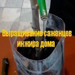 Выращивание саженцев инжира дома (2013) DVDRip