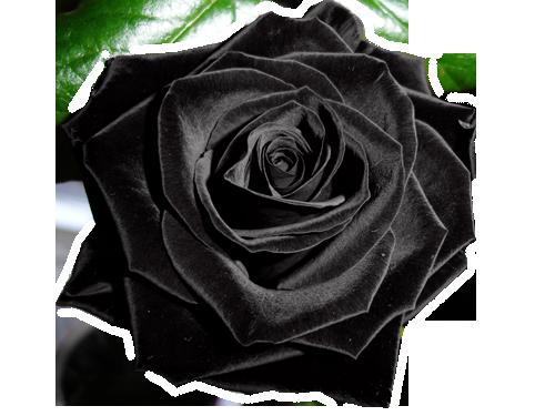 черная роза.png