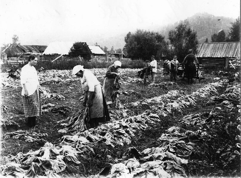 1916 Минусинский уезд уборка табака.jpg