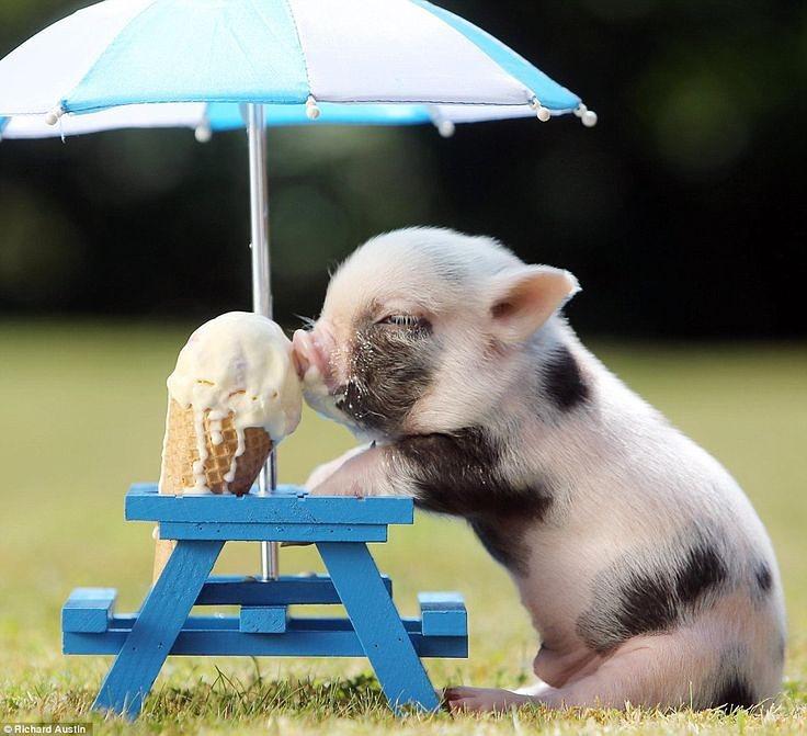 минипиг любит мороженое