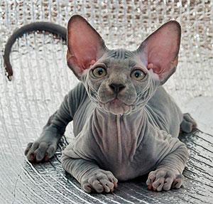 сфинкс рассказы про кошек
