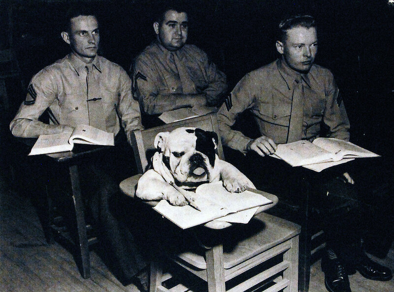 """Private Jiggs, sixth in line of mascots, Marine Corps Schools, Quantico, Virginia, takes his classroom """"work"""" seriously as he makes notes during a military lecture. February 10, 1954"""
