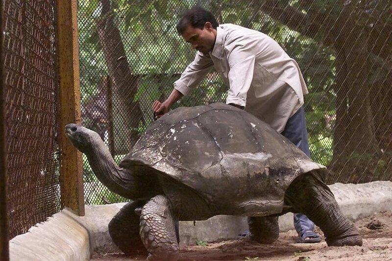 250-летний Адвайта, гигантская черепаха с острова Альдабра.