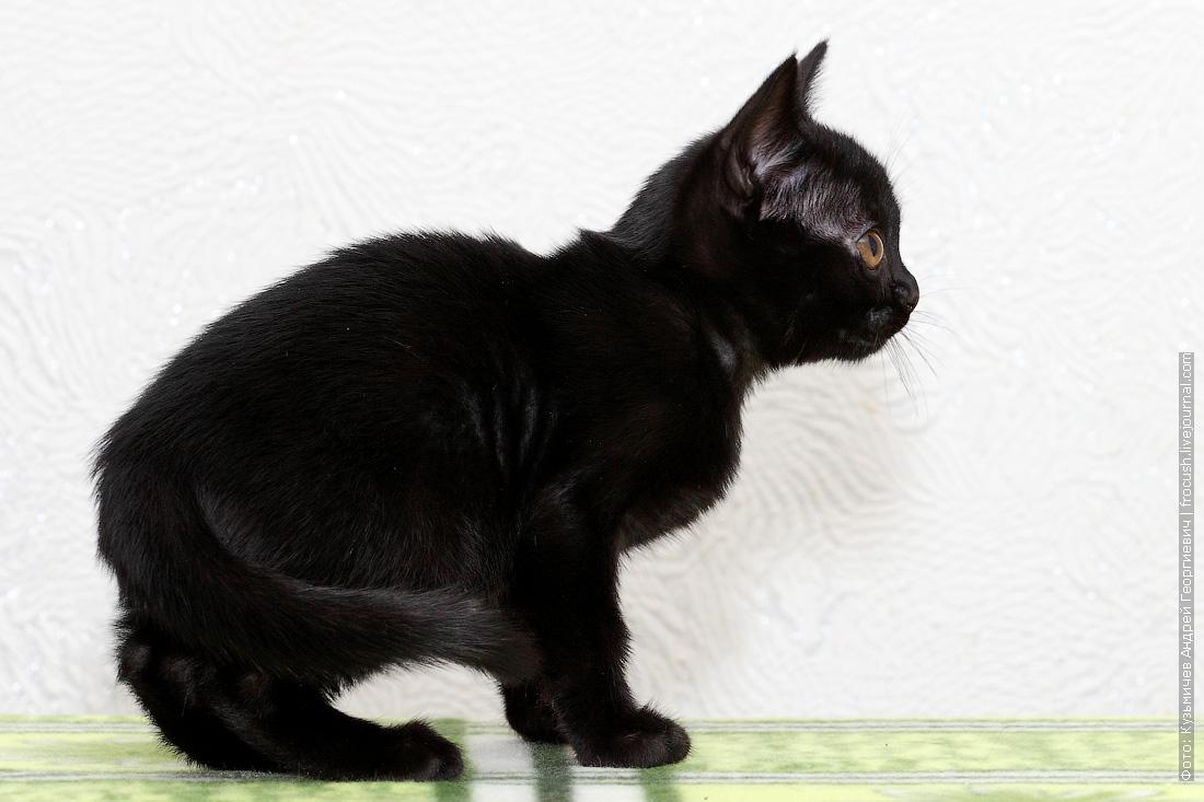 фотография бомбейский котенок