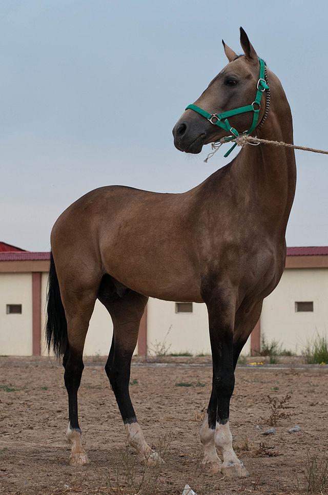 Туркменская лошадь.