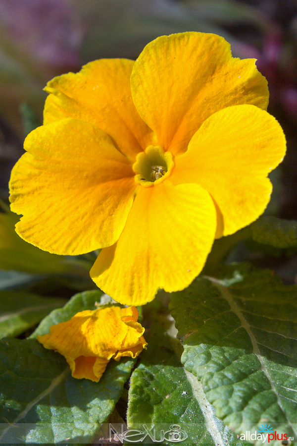 Я люблю все цветы, выпуск 146 | Примулы - «ключики».