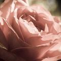 Розы (фоны)