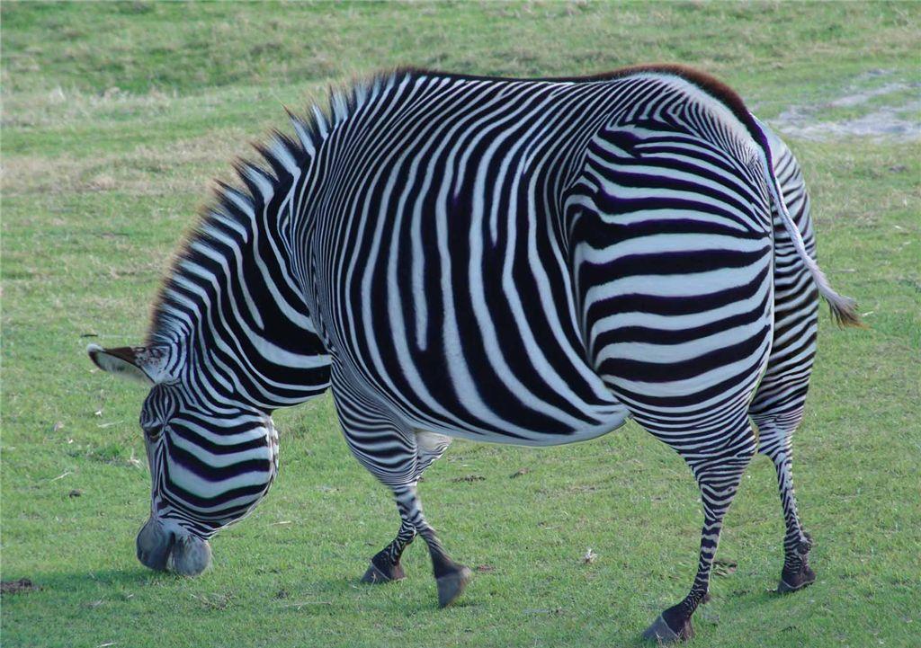 Прикольные картинки зебрами