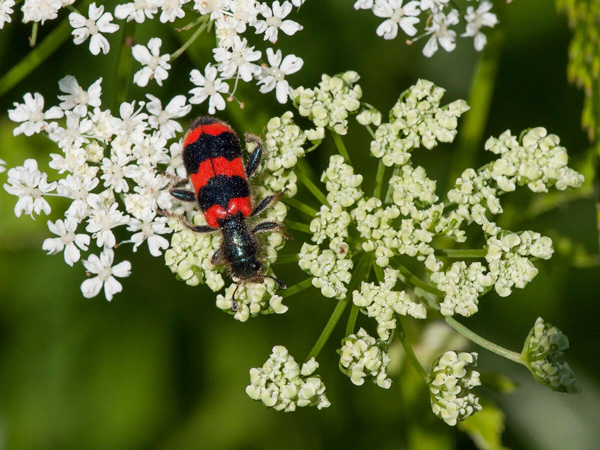 Пестряк пчелиный (Trichodes apiarius) Автор фото: Владимир Брюхов