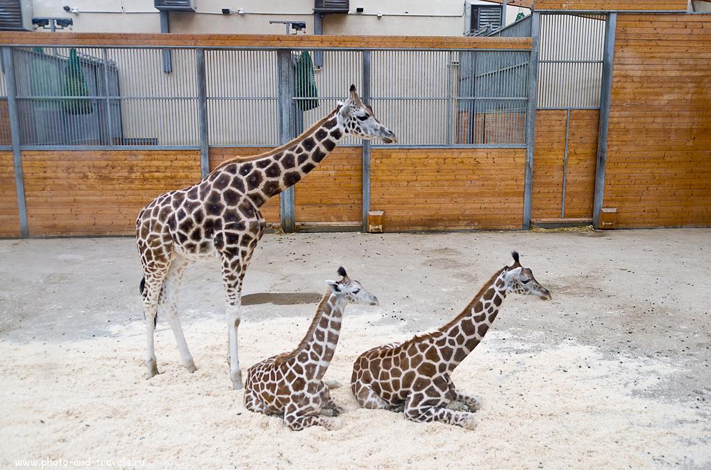 3. Жирафы за стеклом. Зоопарк Опель в окрестностях Франкфурта-на-Майне. Отызвы туристов о поездке на арендованной машине по Германии.