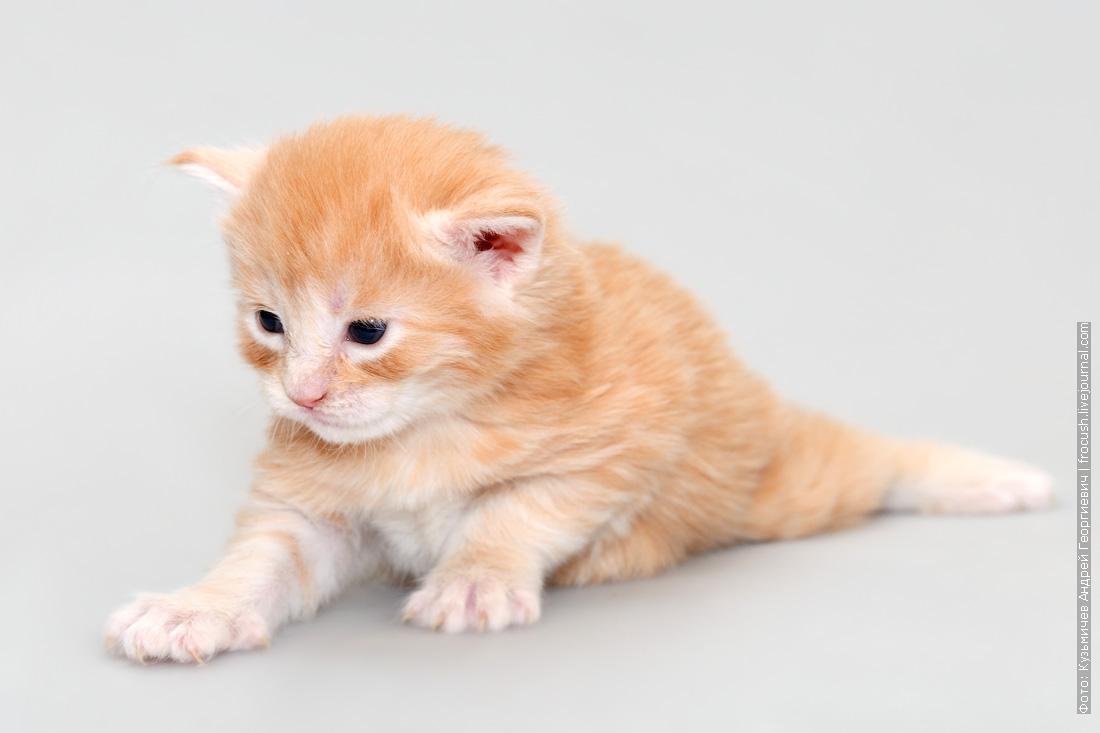 фото двухнедельный котенок Мейн-кун
