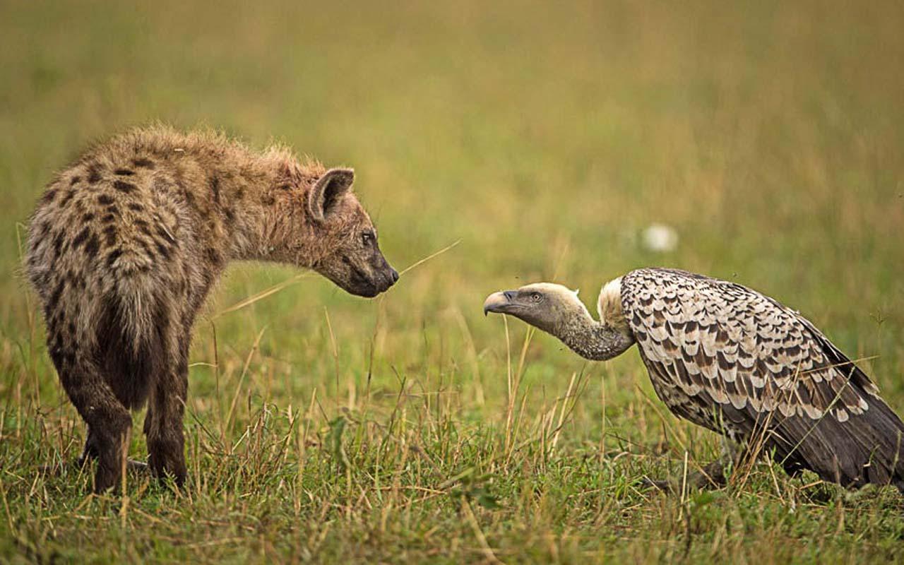 Гиена  и стервятник выясняют отношения, в  заповеднике Масаи-Мара. Нароке, Кения.