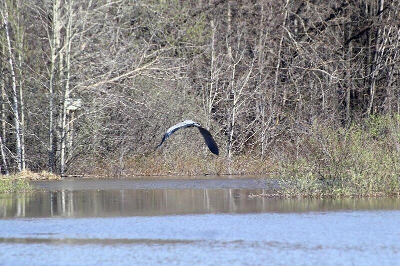 Серая цапля (Ardea cinerea) взлетает над водой озера Просного во время половодья-2015 на Вятке