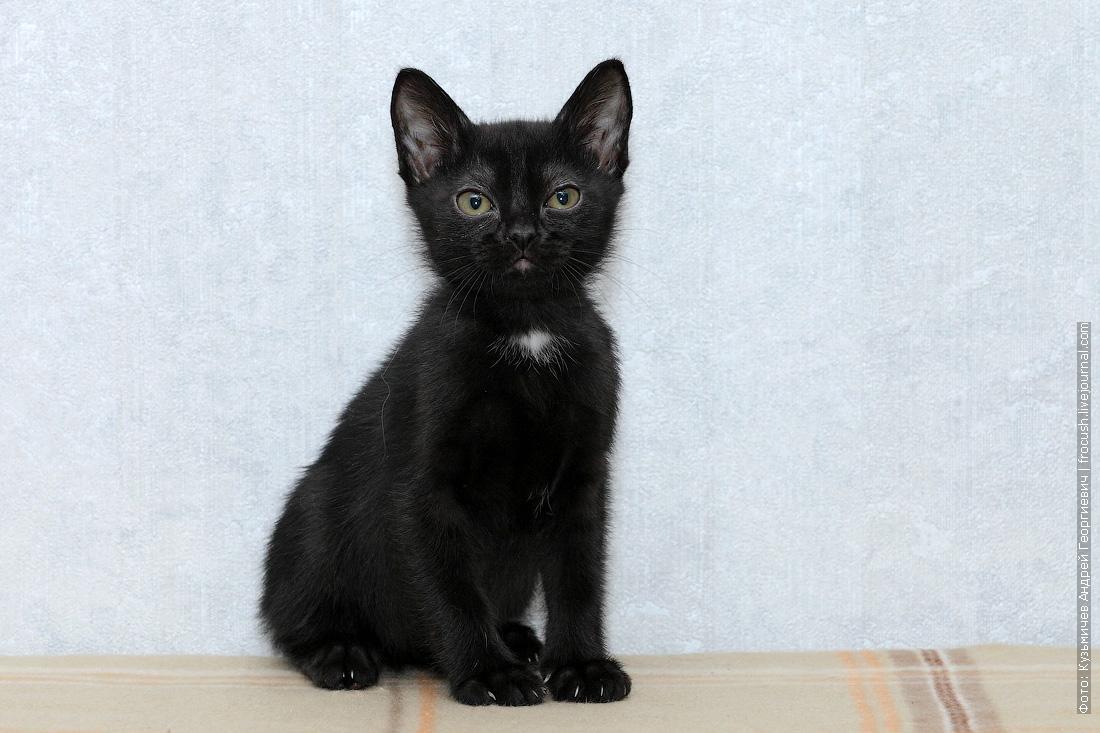 котенок бомбейской кошки из питомника в москве