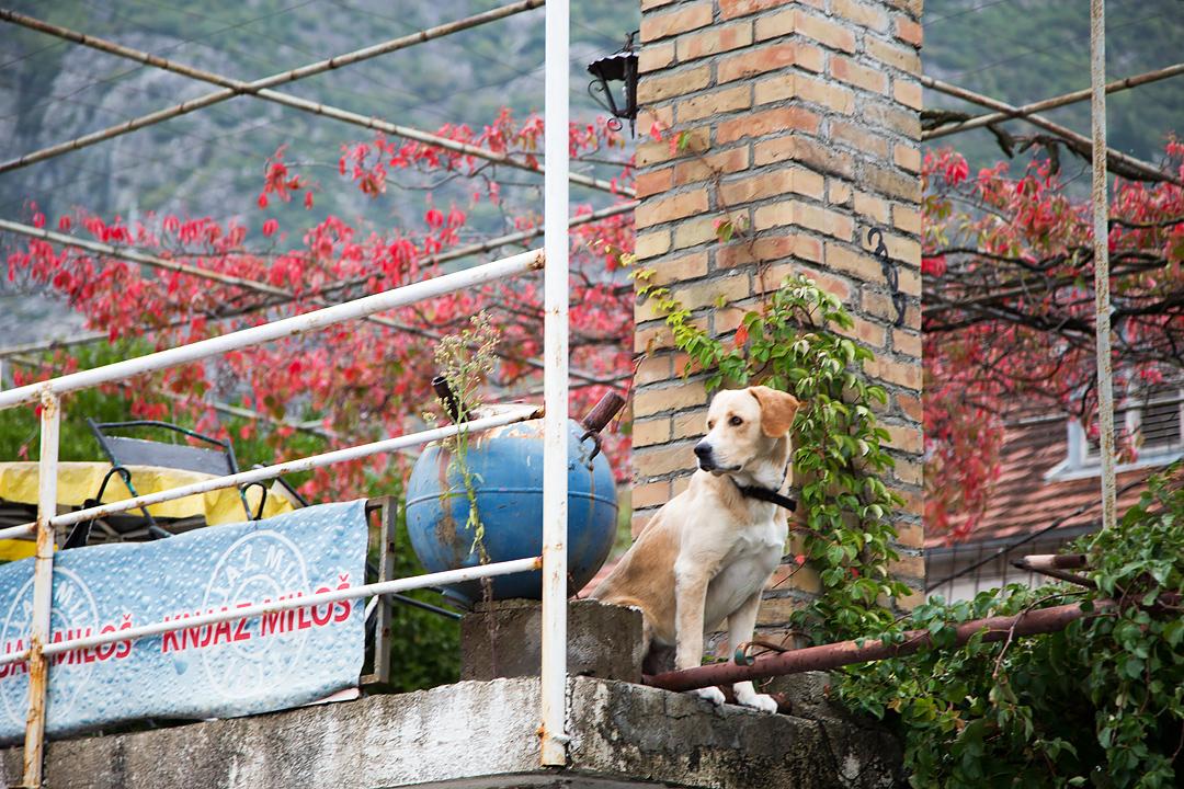 Черногорский пес