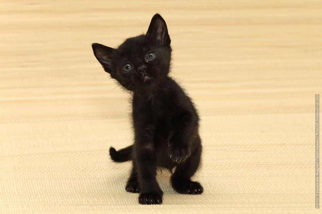 бомбейский котенок продажа