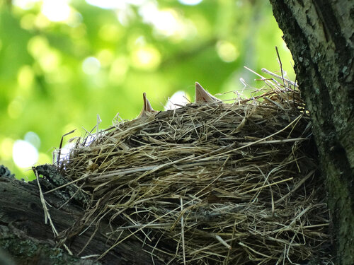 Гнездо певчего дрозда Автор фото: Привалова Марина