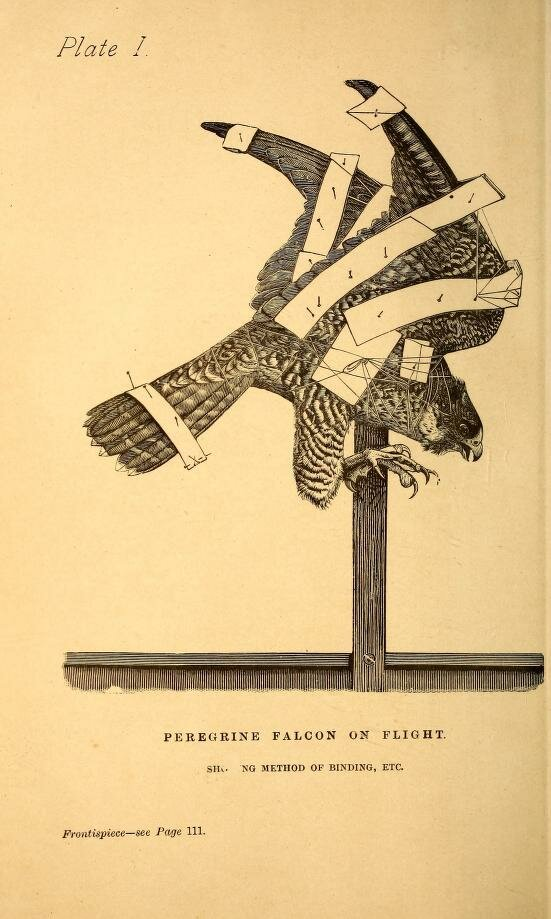 Plate 1. Peregrine Falcon on flight. Practical taxidermy,1884..jpg