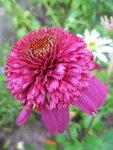 Echinacea Secret Affair (2).JPG