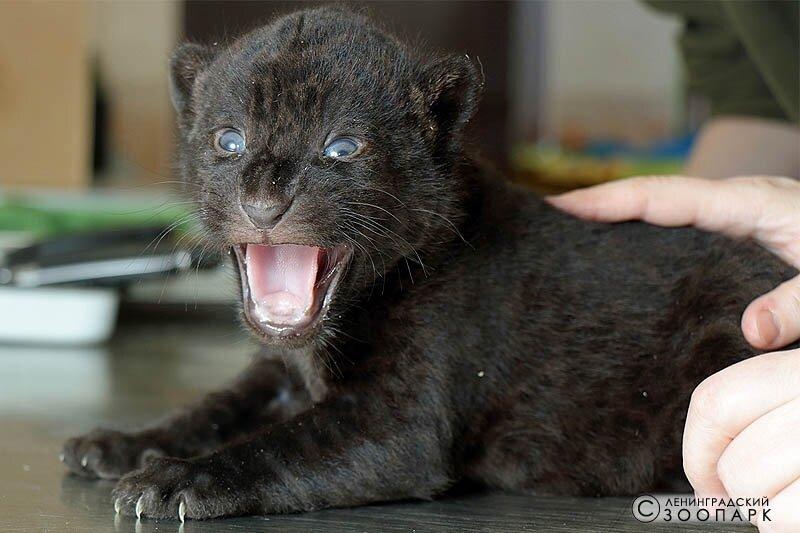 ягуары родились в зоопарке в Санкт-Петербурге
