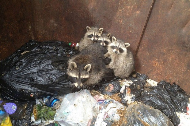 Фотоистория: енотики в мусорном баке