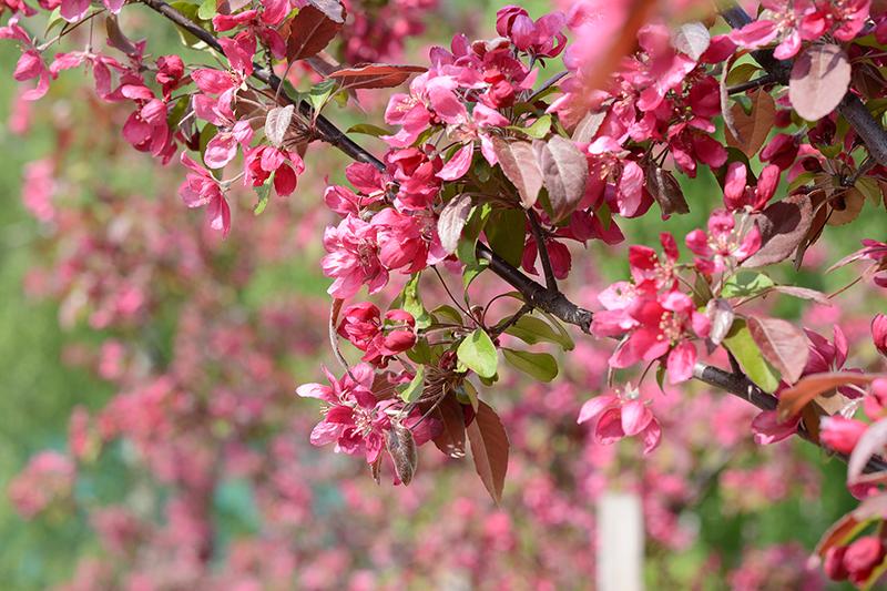 весеннее яблонька