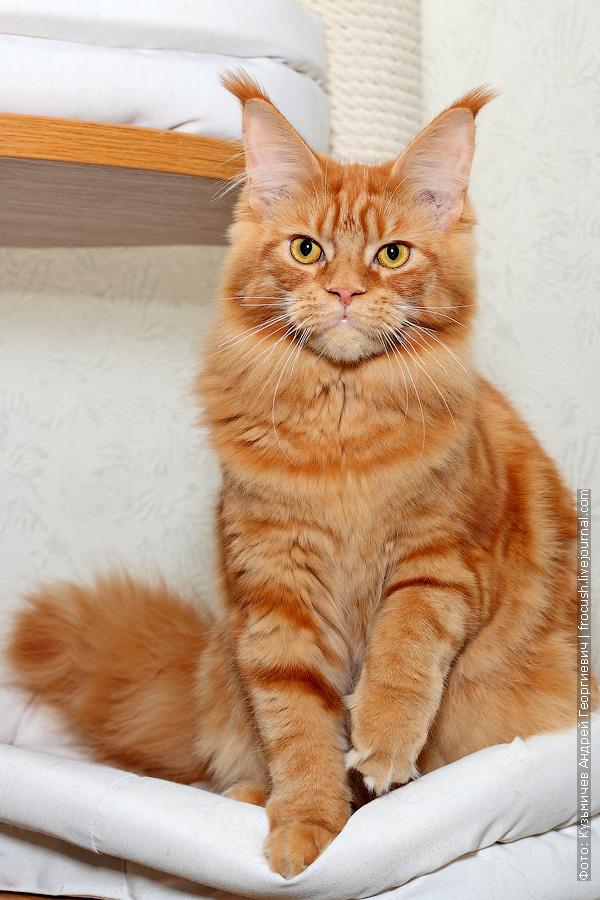 красная кошка мейн кун
