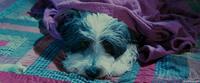 Лохматый папа / The Shaggy Dog (2006/WEB-DL/WEB-DLRip)