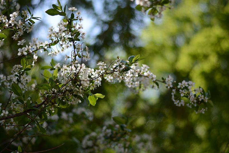 весеннее вишня