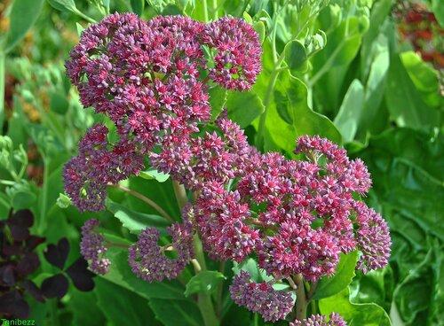 Очиток (очитник) пурпурный / Sedum (hylotelephium) purpureum