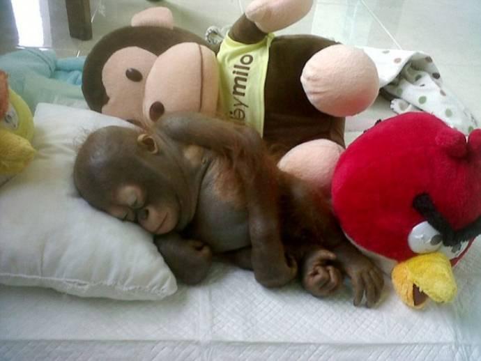 орангутан спит