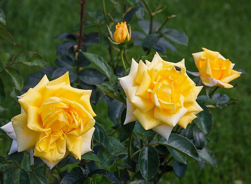 Желтые,желтые розы