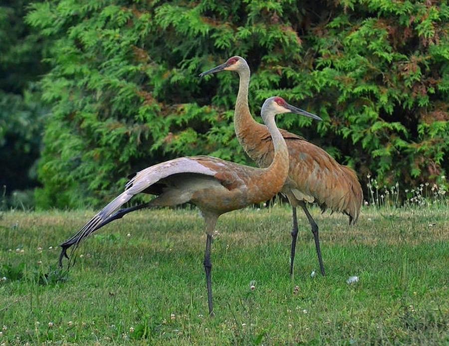 Может, эти птицы и не полностью моногамные, но это не значит, что они не романтичные. Во время брачн