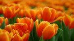 Фанфан - тюльпан _085.jpg