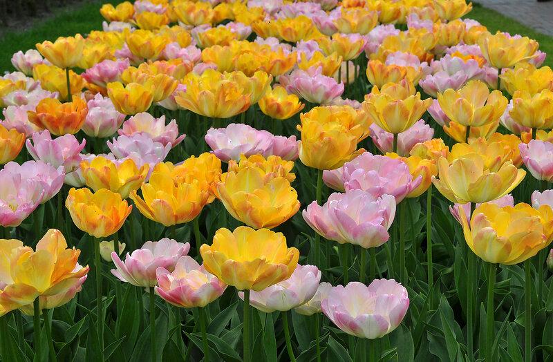 Открываются тюльпанов лепестки