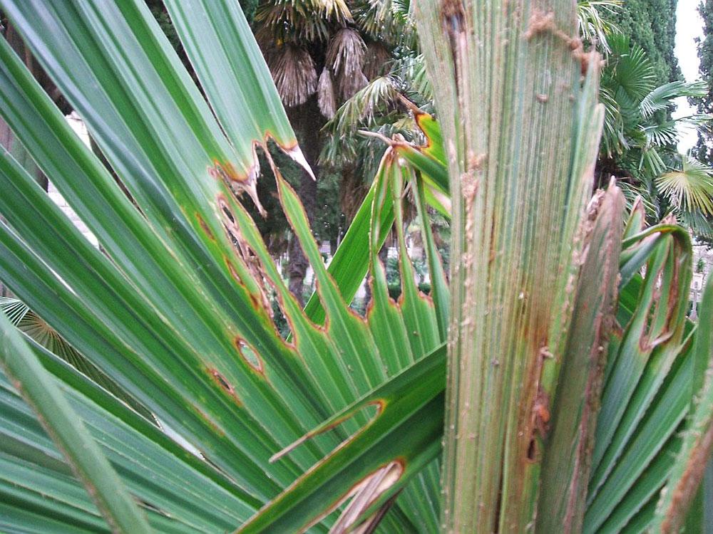 Пальмовая огнёвка