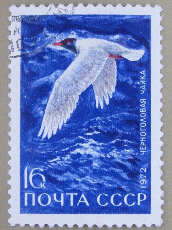 Черноголовая чайка (Larus melanocephalus).
